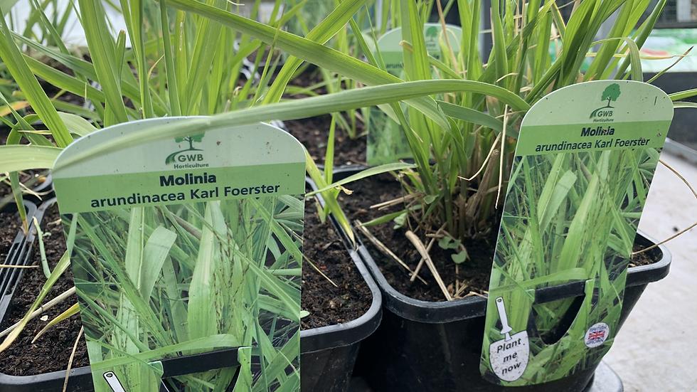 MOLINA arundinacea Karl Foerster (Purple Moor Grass)