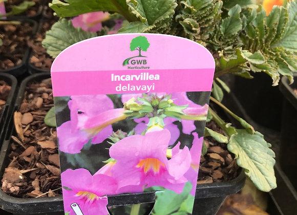 Incarvillea delavayi (Chinese trumpet flower)