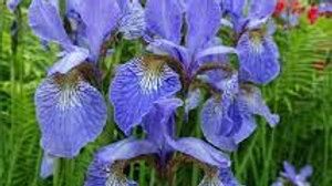 IRIS Perry Blue