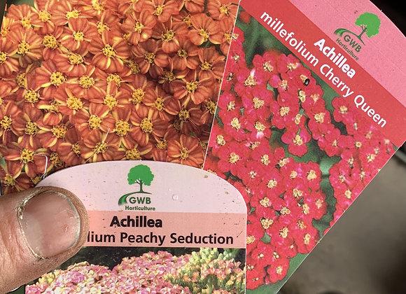 Achillea millefollium (Yarrow) Various Colours