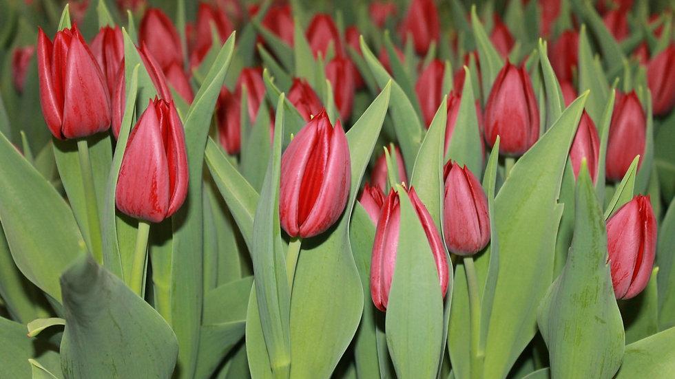Tulip Pallada Potted Bulb