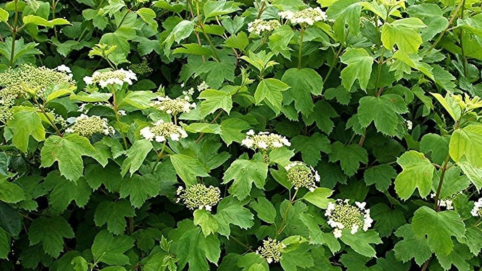 Guelder Rose (Viburnum opulus) x25 Bareroot 60-80cm PRE-ORDER ONLY