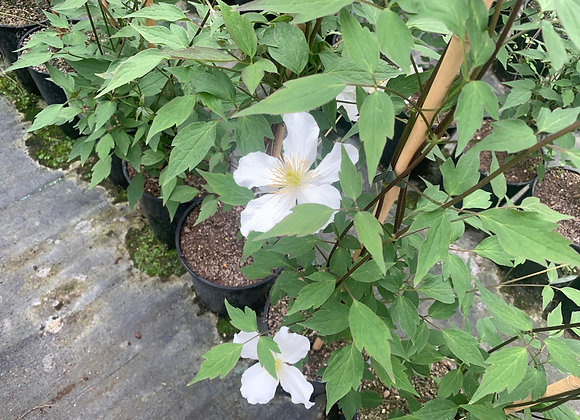 Montana Grandiflora