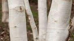 BETULA utilis (Himalayan Birch) 4.25m