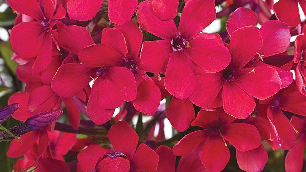 PHLOX paniculata Sweet Summer Red