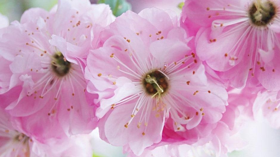 Flowering Almond (Prunus triloba 'Rosemund')