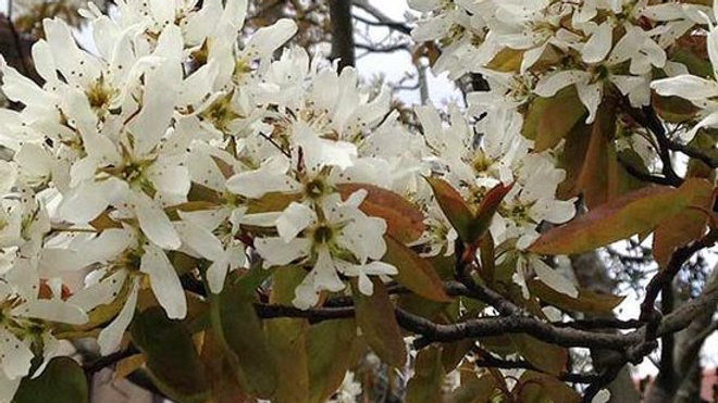 Snowy Mespilus (Amelanchier lamarckii)