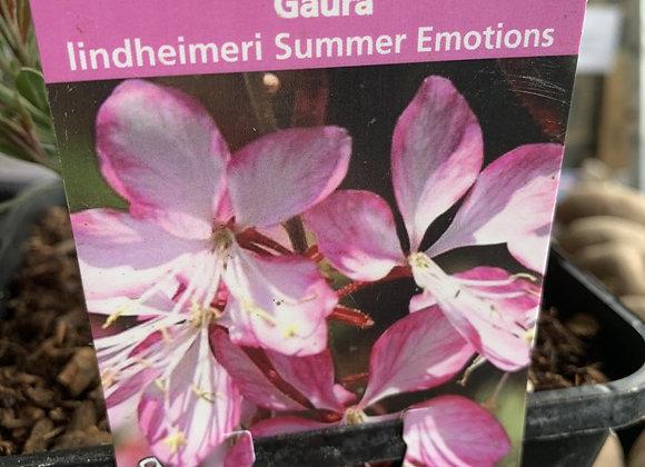 Gaura lindheimeri Summer Emotions (Wand Flower)