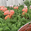 Thumbnail: Achillea millefollium (Yarrow) Various Colours
