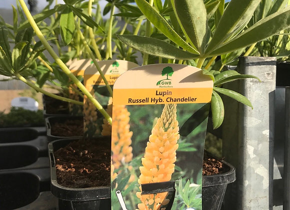 LUPIN Russell hybrids Chandelier (yellow)