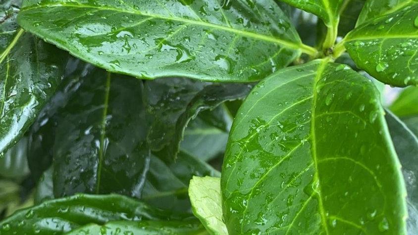 Cherry Laurel (Prunus lauro. Rotundifolia) 70-80cm