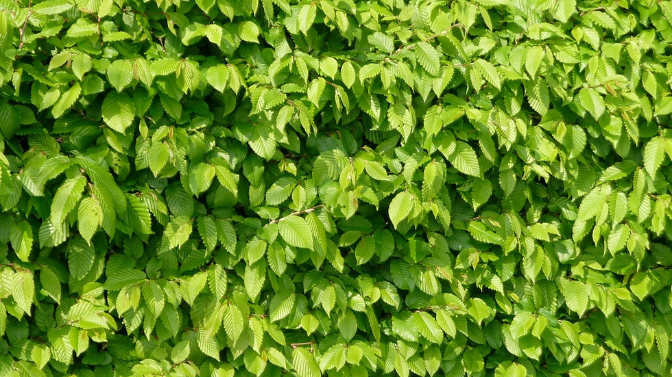 Beech (Fagus sylvatica)25x Bareroot Whips 80-90cm PRE-ORDER ONLY