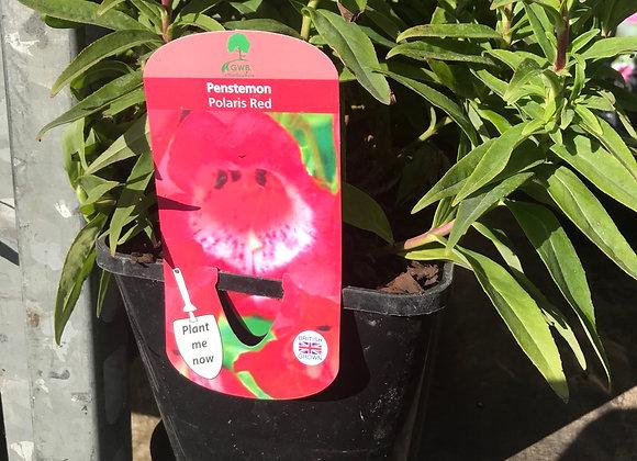 PENSTEMON Polaris Red