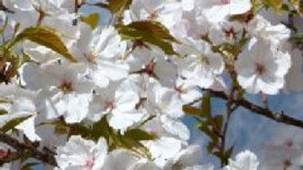 Japanese Cherry (Prunus serrulata Sunset Boulevard) 400-450cm