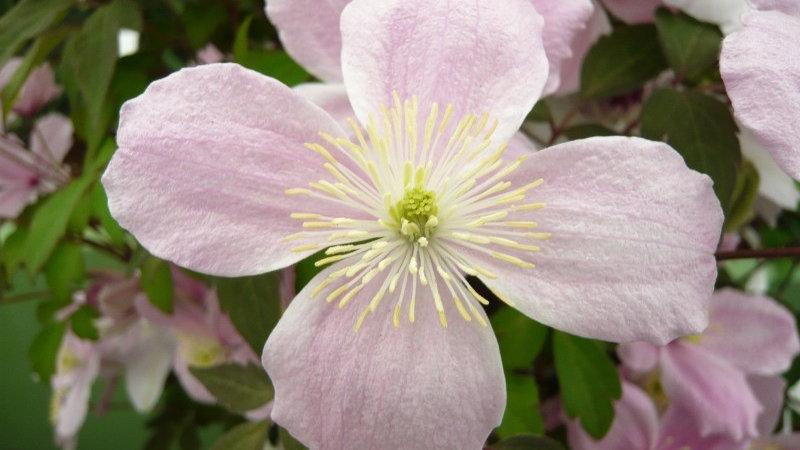 Clematis montana 'Mayleen' (Clemats montana 'Mayleen')