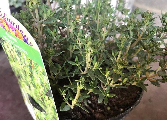 Thymus vulgaris Faustinoi (Dwarf Thyme)