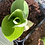 Thumbnail: Hosta Big Daddy (Plantain Lily)