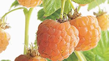'Fallgold' Raspberry (Rubus idaeus 'Fallgold')