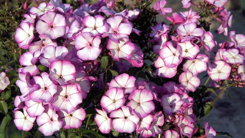 PHLOX paniculata Sweet Summer Violet White