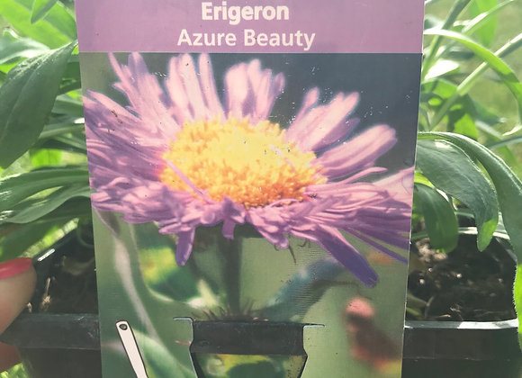 Erigeron Azure Beauty (Mid summer daisy)