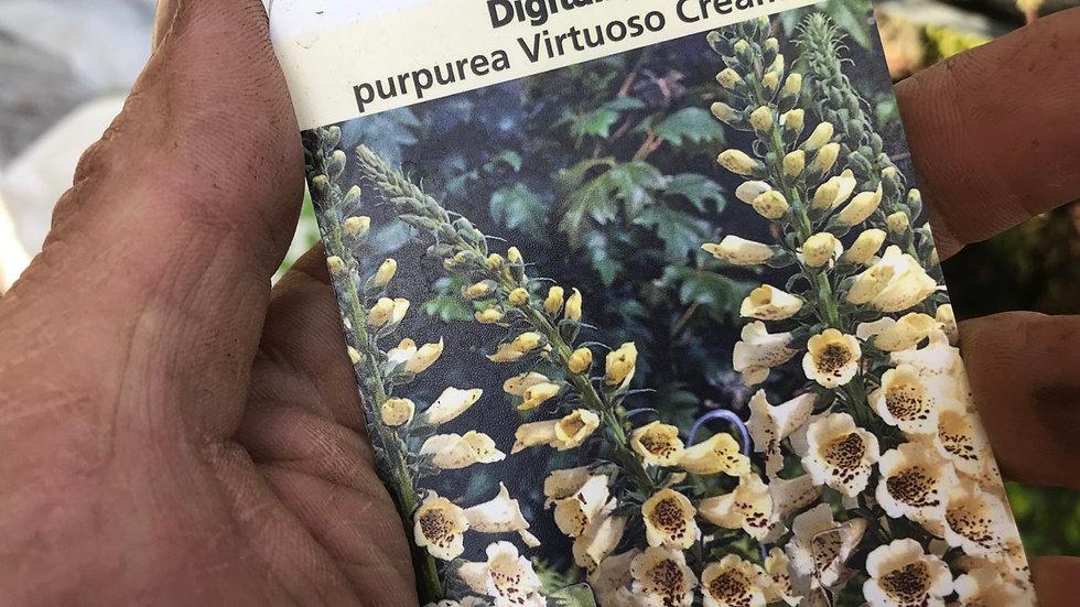 Digitalis purpurea Virtuoso Cream (Foxglove)