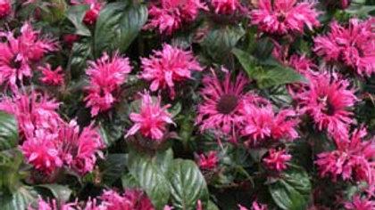 MONARDA Cranberry Lace