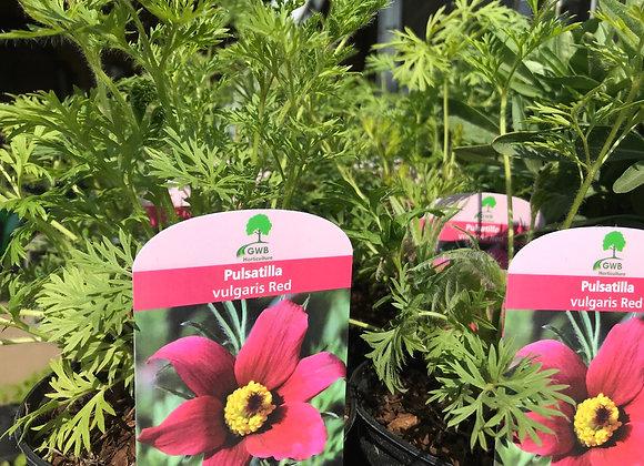 Pulsatilla vulgaris Red (Red Pasqueflower)