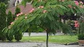 Albiza Julibrissin (Pink Silk Tree)