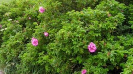 Dog Rose (Rosa canina) x25 Bareroot 60-80cm PRE-ORDER ONLY