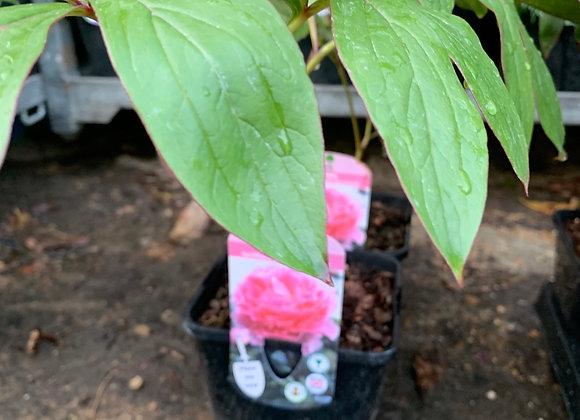 Paeonia lactiflora Sarah Bernhardt (Peony)