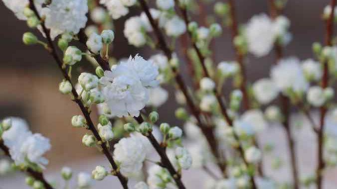 Dwarf Flowering Almond (Prunus glandulosa 'Alba Plena' )