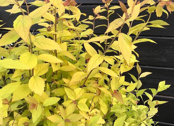 Spirea japonica 'Firelight' (Japanese spirea 'Firelight')