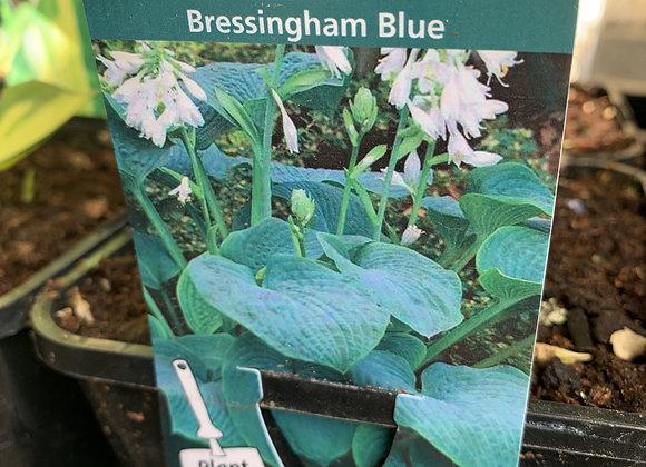 HOSTA Bressingham Blue
