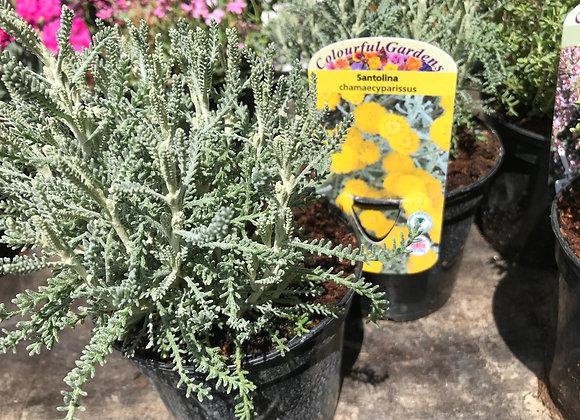 Santolina chamaecyparissus (Lavender Cotton)