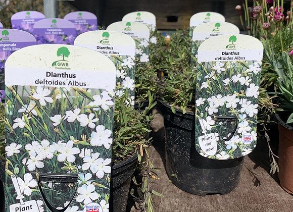 Dianthus deltoides Albus (Maiden pink)