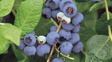 Blueberry (Vaccinium corymbosum)