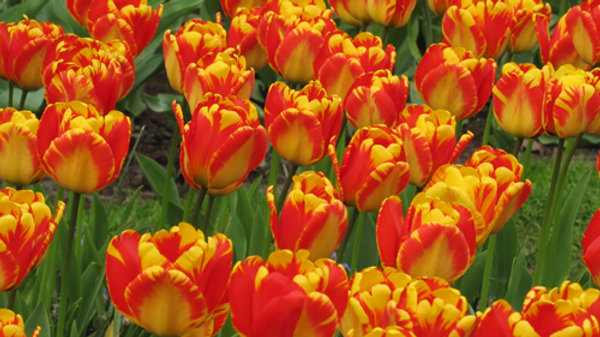 Tulip Banja Luka Potted Bulb