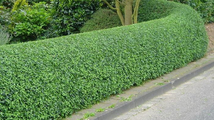 Wild Privet (Ligustrum vulgare) x25 Bareroot Whips 80-100cm