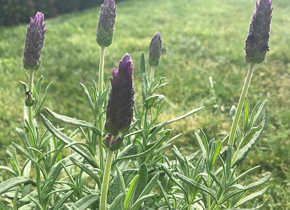Lavendula Javelin Deep Purple (Lavender)