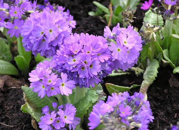 Primula denticulata Lilac (Drumstick Primula)