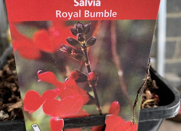 Salvia x microphylla Royal Bumble (Sage Royal Bumble)