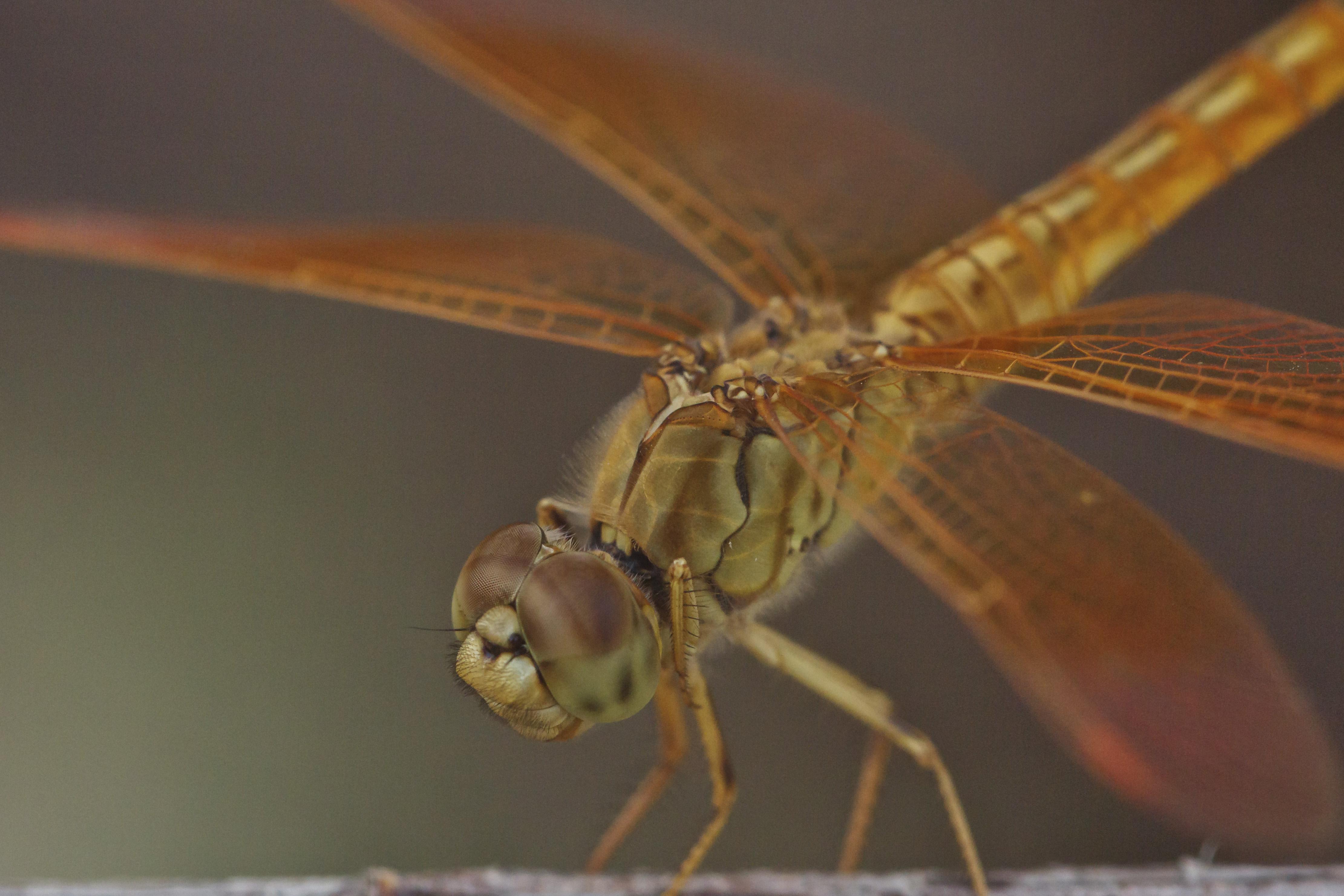 Libelle Tier Makro