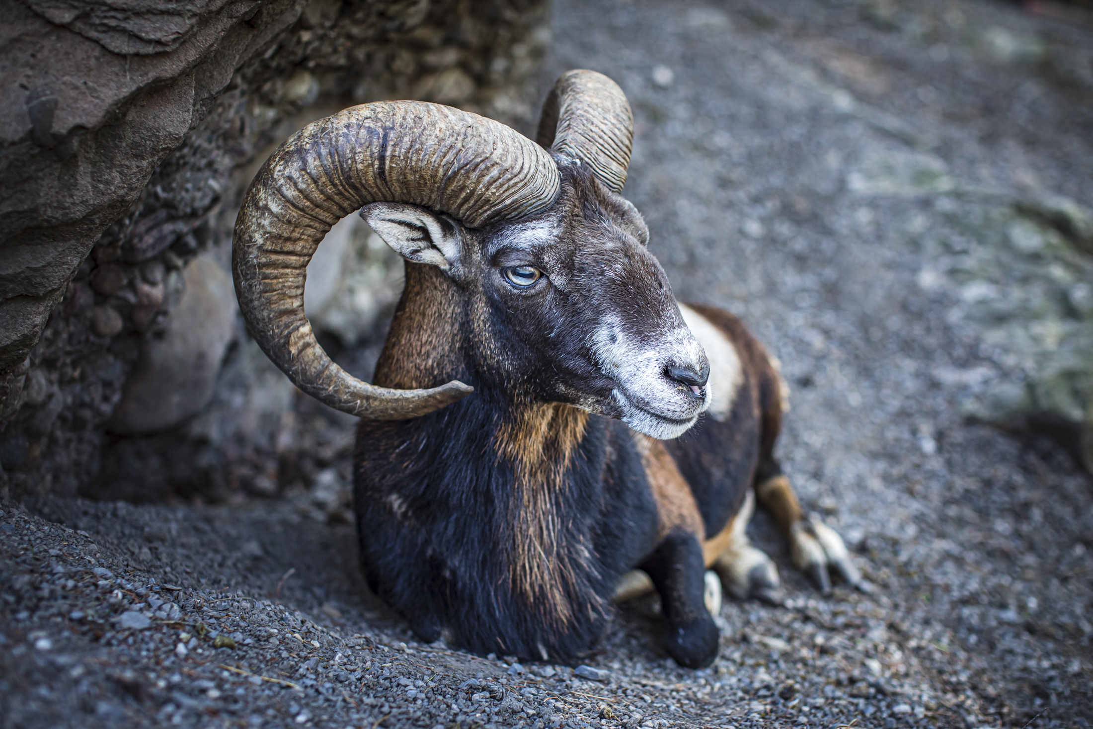 Widder Tierpark Goldau