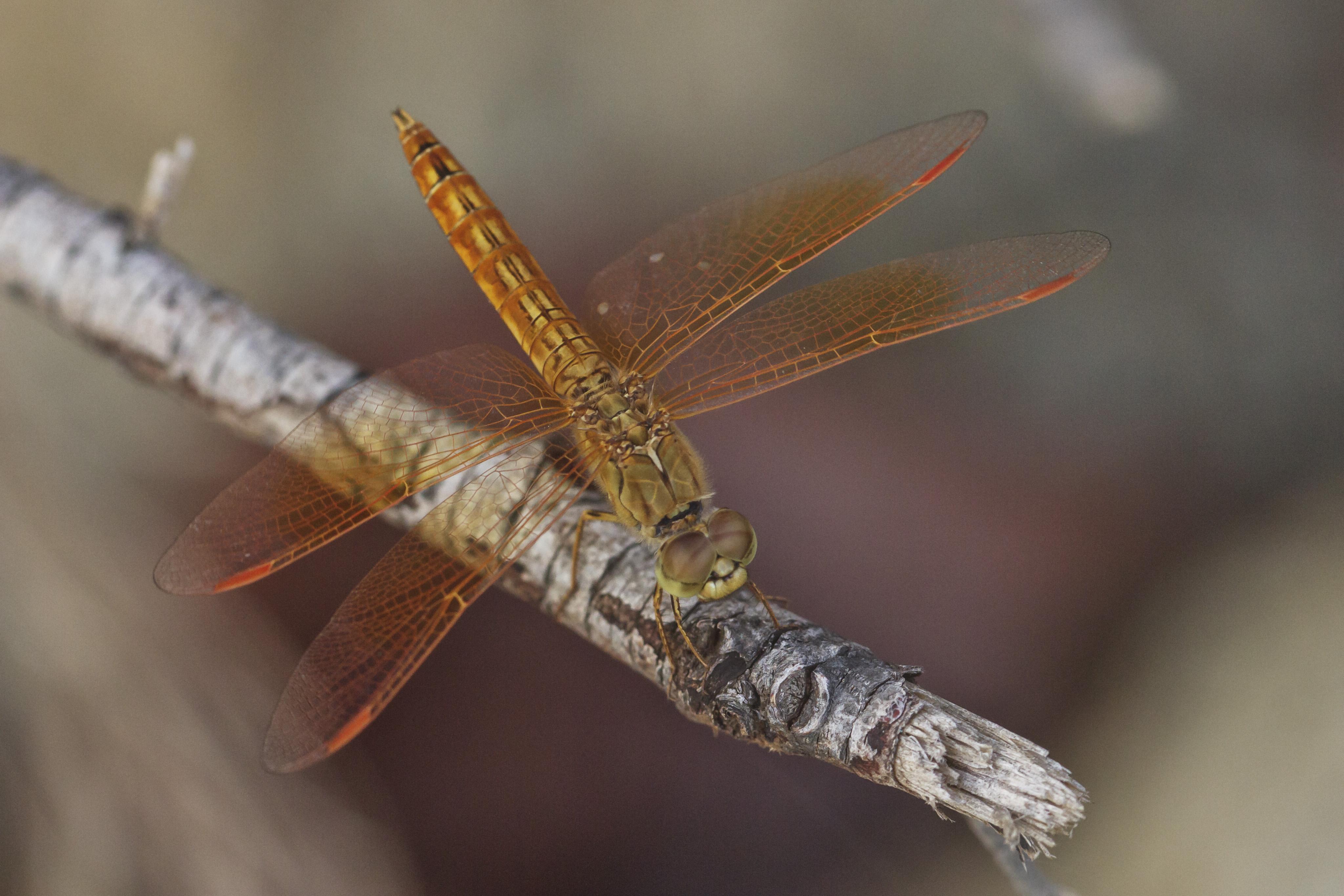 Libelle Tier Makro Thailand