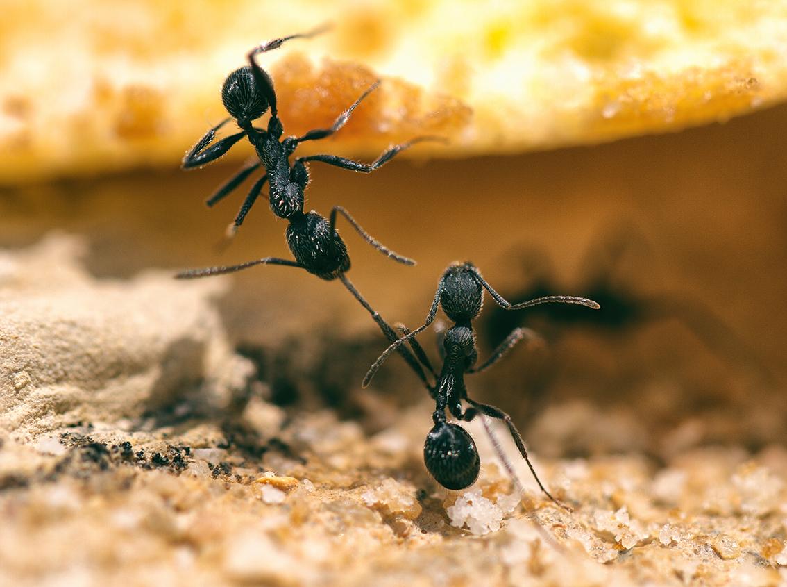 Ameisen Portugal