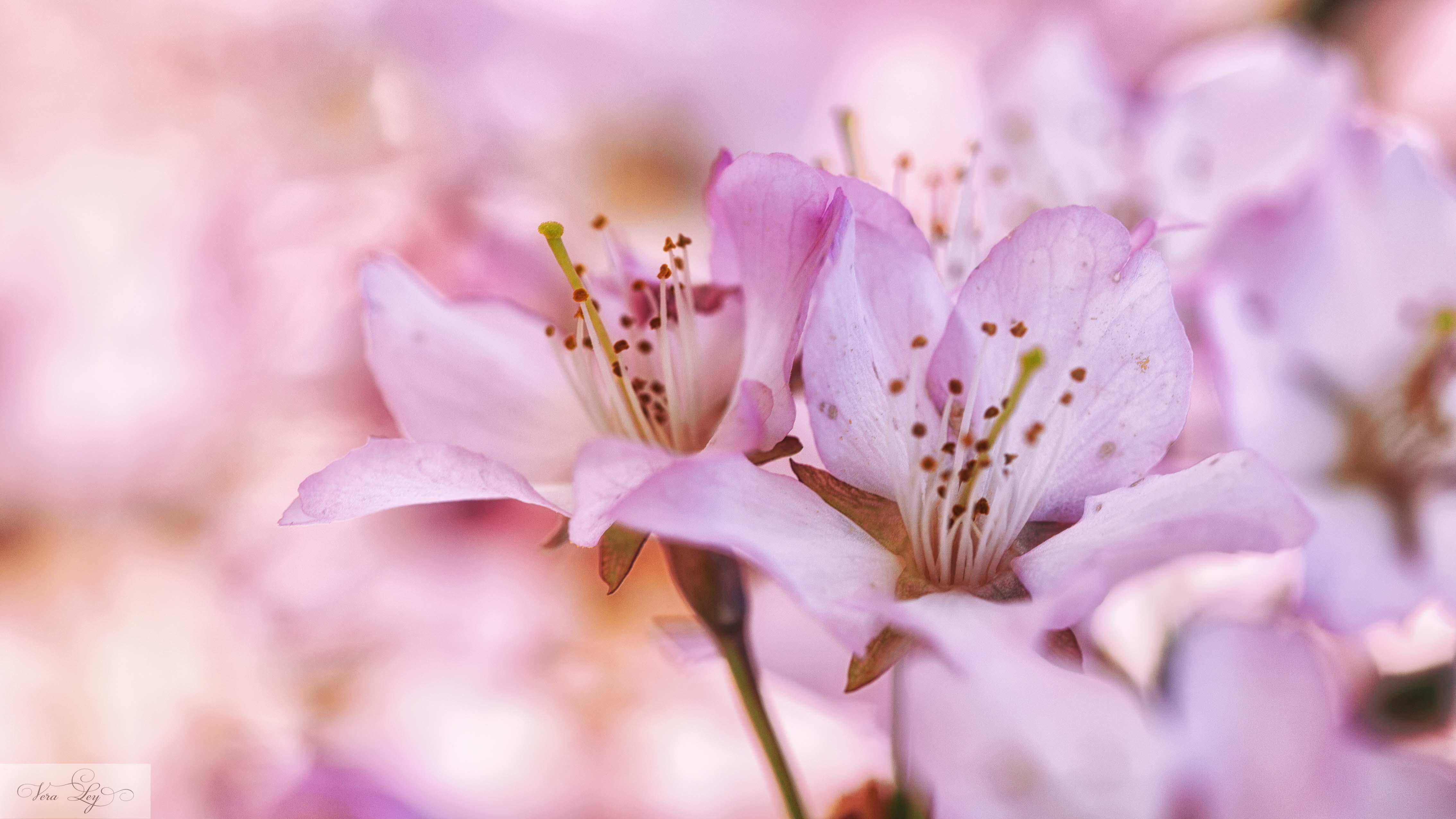 rosa Blüten-