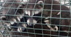 raccoon_slideshow