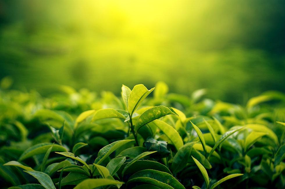 vintage tea leaf in plantation field .jp