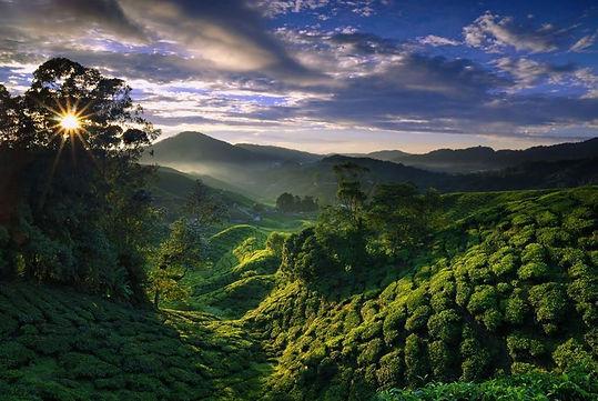 Jardin de thé.jpg