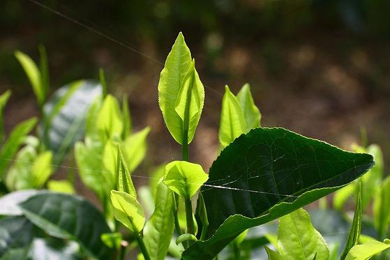 Thé vert biologique.jpg